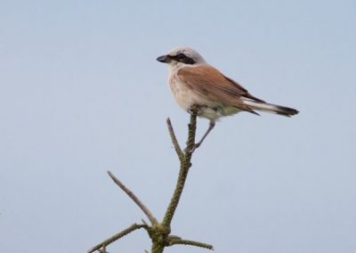 Red Back Shrike