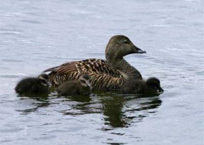 Elder Duck