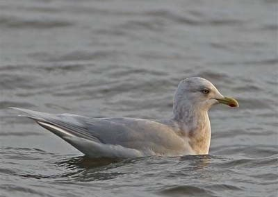 Iceland Seagull