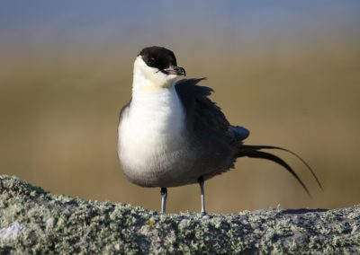 Long Tailed Skua